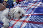 Cute White Fury Dog Napping At A Picnic poster