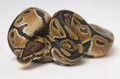 Python regius in a roll