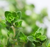 Fresh thyme, close-up