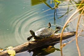 stock photo of cooter  - Charismatic Florida Cooter stretching out and catching some rays - JPG