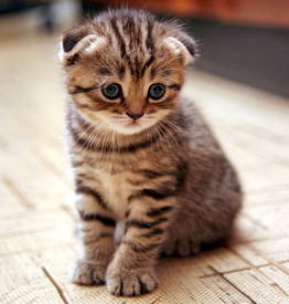 picture of scottish-fold  - Funny curious Scottish fold kitten in play - JPG