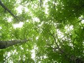 Trees Looking Up poster