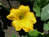 yellow zucchini flower
