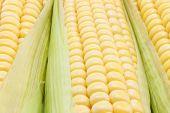Mazorca de maíz amarillo