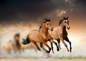 stock photo of bay horse  - horses in a sunset running fastly in dust - JPG