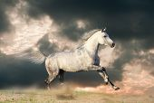 picture of dapple-grey  - arabian gray stallion in a dust running - JPG