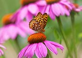 Fritillary butterfly on coneflower