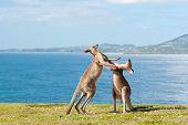 Boxen Kängurus Australien