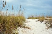 picture of sea oats  - Sandy Path leads through the hilly dunes to beautiful beach in Florida - JPG