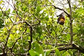 stock photo of royal botanic gardens  - This image shows a Flying Fox - JPG