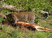 Leopard Kill In Botswana