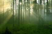 Sun Rays In The Forest.