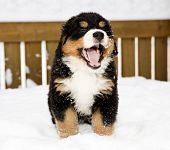 stock photo of encounter  - Isolated bernese mountain dog puppet is yawing widely - JPG