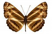Butterfly Species Neptis Omeroda Omeroda