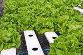 Hydrophonic plantation, lettce