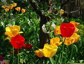 Tulips And Cherry Tree