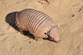 stock photo of armadillo  - Armadillo Searching for food on the wild beach in South of Patagonia in Argentina - JPG