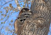 foto of raccoon  - Raccoons in Tree - JPG