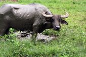 picture of carabao  - The National Animal of the Philippines is the carabao (Bubalus Bubalis Carabanesis) the Asian Water Buffalo!