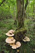 Dryad's Saddle Bracket fungi