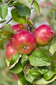 Apples On A Tree Branch In The Garden