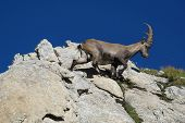 Beautiful Young Alpine Ibex