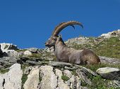 Relaxed Alpine Ibex