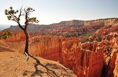 Bryce Canyon Tree