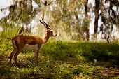 Adult male blackbuck antelope (antilope cervicapra)