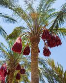 Date Palm Egypt