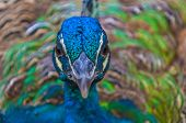 picture of female peacock  - Male Peacock - JPG