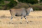 Eland Antelope Bull