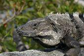 Here Lizard