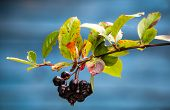 stock photo of chokeberry  - Autumnal chokeberry against blue background - JPG