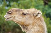 foto of humping  - A close up profile view of an arabian camel also known as Camelus dromedarius. The dromedary is a large even-toed ungulate with one hump on its back.
