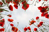 Low angle view into poppies and other wildflowers in Tuscany