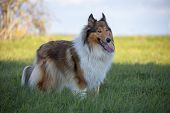 stock photo of collie  - Rough Collie or Scottish Collie over nature background - JPG