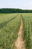 Technological Tracks For Crops Processing On Wheat Field