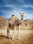stock photo of dromedaries  - Portrait of camel in the desert in Egypt - JPG
