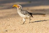 Yellow Billed Hornbill Walking On Ground Looking And Begging For Food