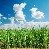 green maize field and clouds