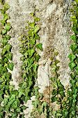 image of english ivy  - Green English Ivy On The Old Tree - JPG