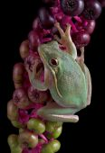 picture of pokeweed  - A green tree frog is hanging onto pokeweed berries - JPG