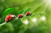 Natural background from early morning. Three ladybugs with umbrella walking on a dewy grass.