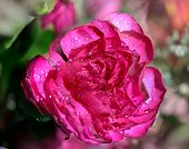 The Flower Of A Red Rose With Water Droplets