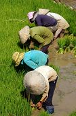 Vietnamese Farmer Transplant Rice Seeding