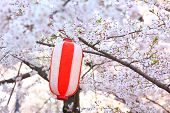 Red lantern and sakura