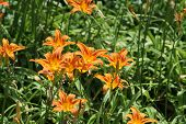 picture of day-lilies  - Day lilies are rugged - JPG