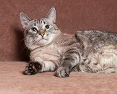 Tabby Cat With Blue Eyes Lying On Couch