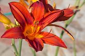 Red Orange Lilies